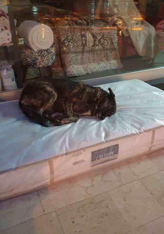 A stray dog sleeping on a mattress