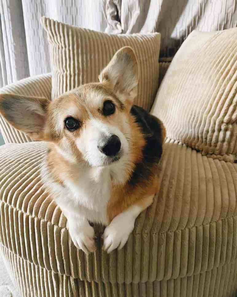 Корги Кора сидит на диване