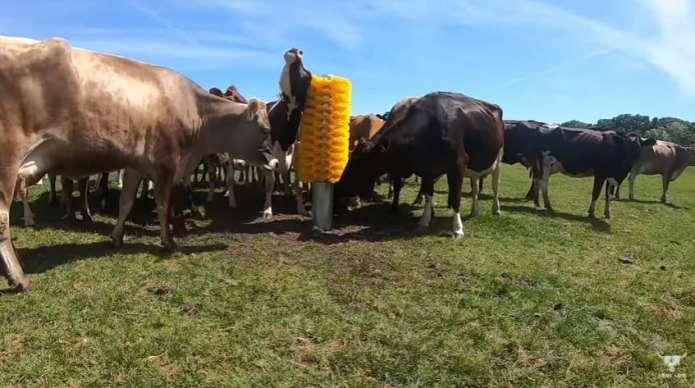 Cows rubbing against a giant bristle brush at a farm