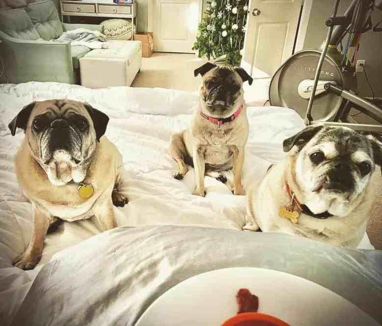 Three pugs on a bed