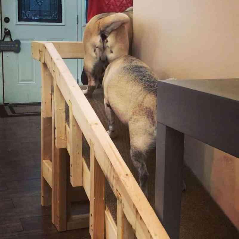 Pugs climbing a wooden ramp