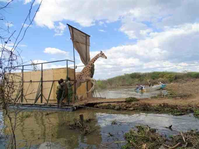 A Rothschild giraffe hopping out of a barge