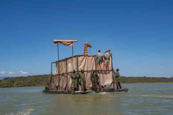 A Rothschild giraffe in a custom barge on a lake