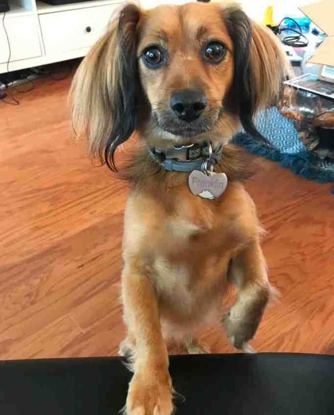 Франклин навязчивый пес