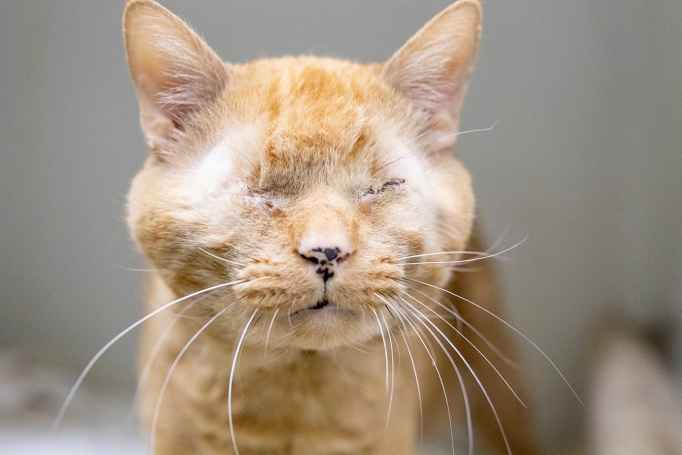 An orange tabby without eyes
