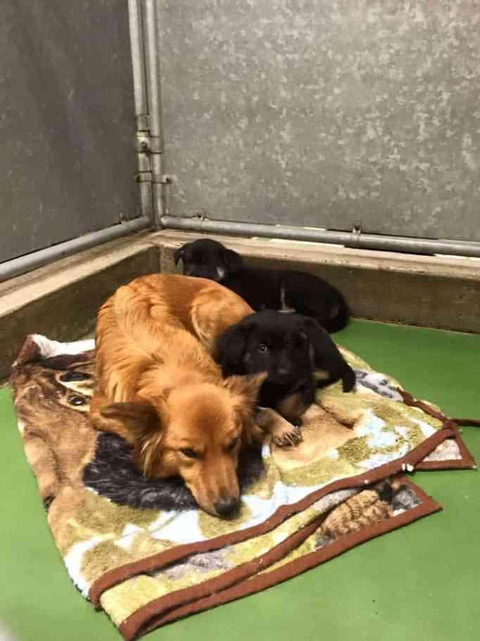An Australian shepherd cross cuddling with two black puppies