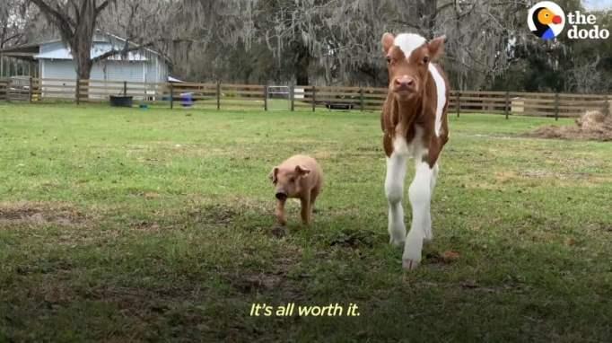 Свинья Марли и теленок Эли бегают по ферме