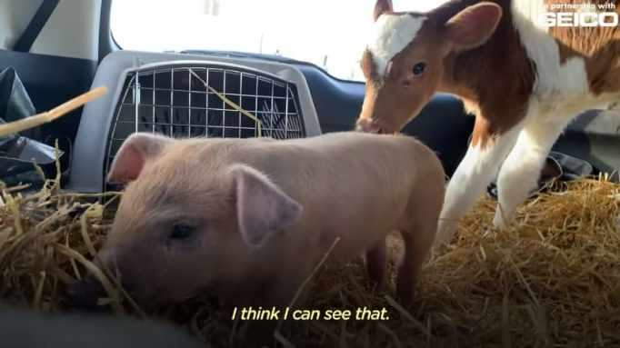 Marley the pig and Eli the calf in the back seat of a car