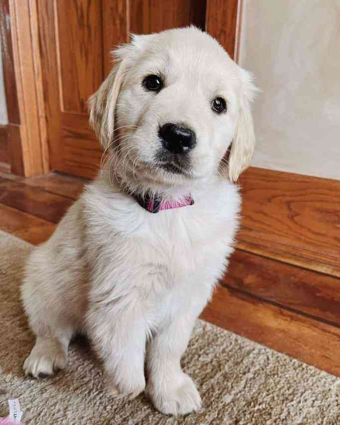 Marvel the golden retriever with a missing front paw