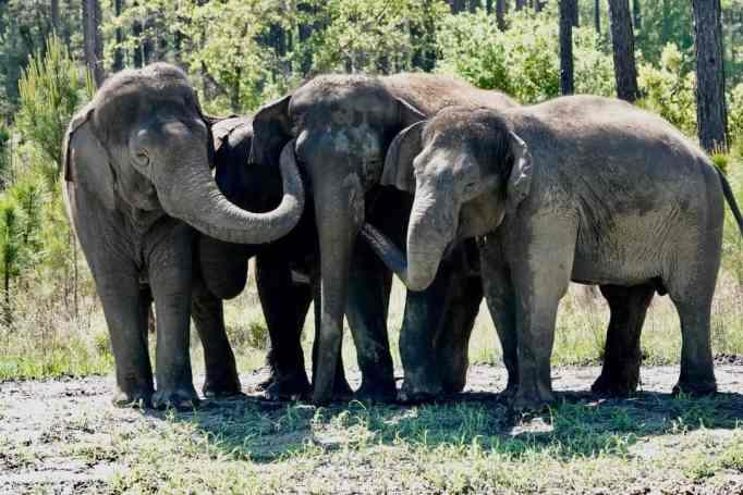 An herd of Asian elephants