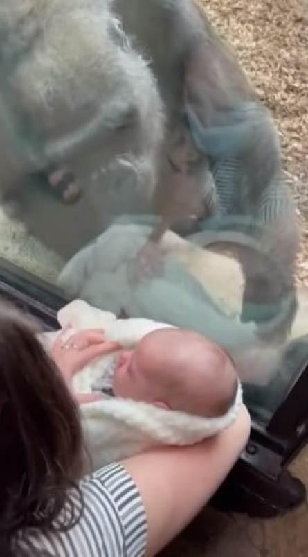 Kiki the gorilla looking at baby Canyon
