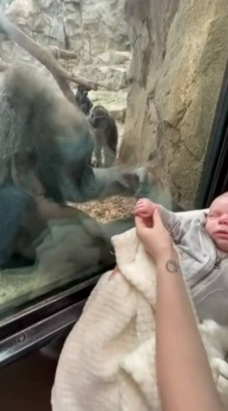 Kiki the gorilla touching a baby's hand through the glass
