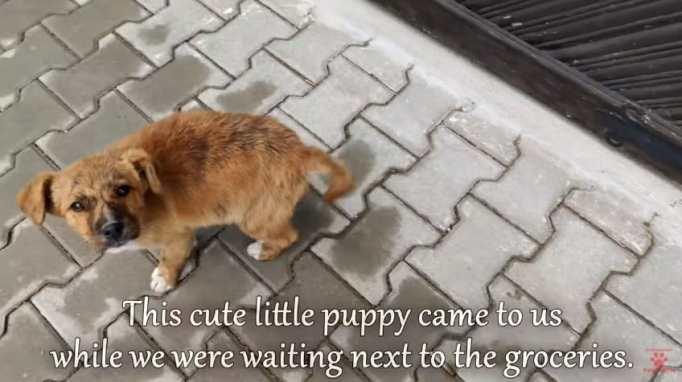Маленький коричневый щенок