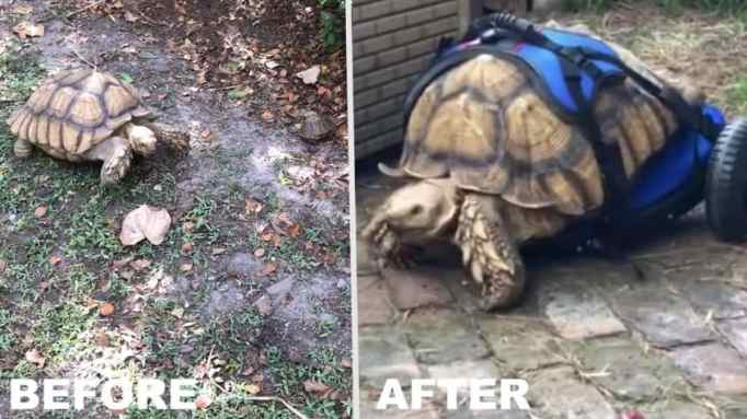 A before and after photo of George Bailey the disabled tortoise