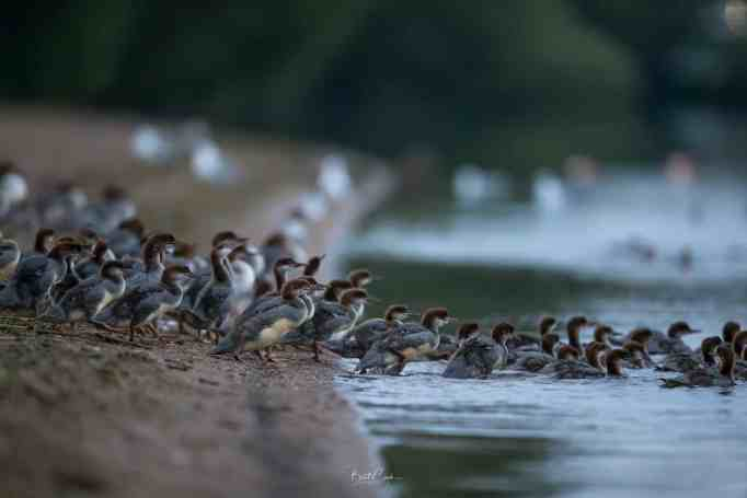 Young mergansers going into the water