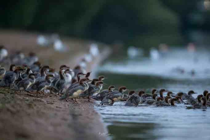 Молодые крохали, заходящие в воду