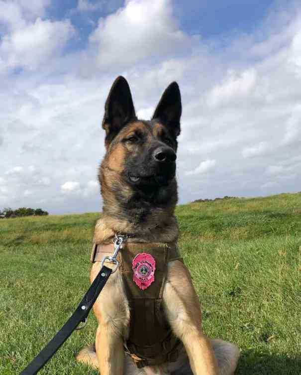Arrow wearing his police dog vest and badge