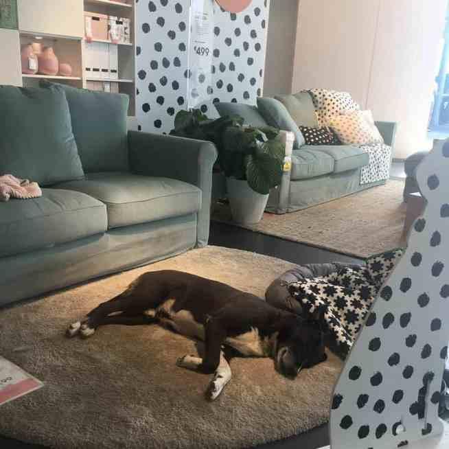 A dog sleeping on a rug inside an IKEA store