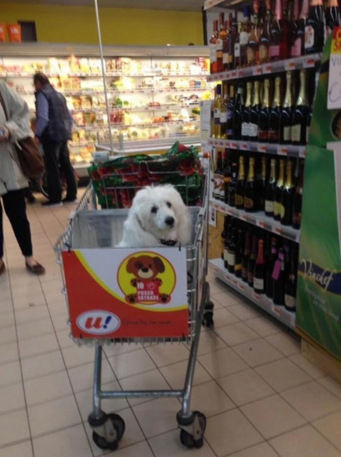 A white dog in a shopping cart