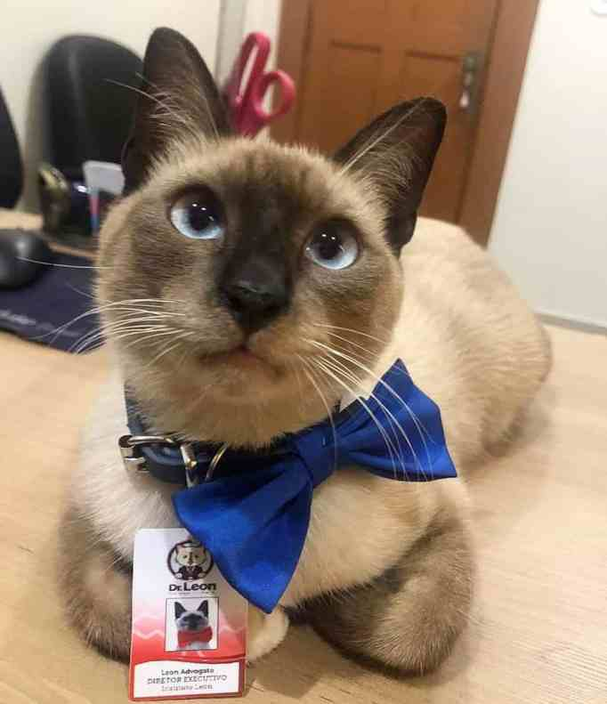 A Siamese cat wearing a blue bow tie and his employee badge