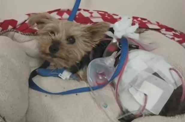 Macy the yorkshire terrier recovering in the animal hospital