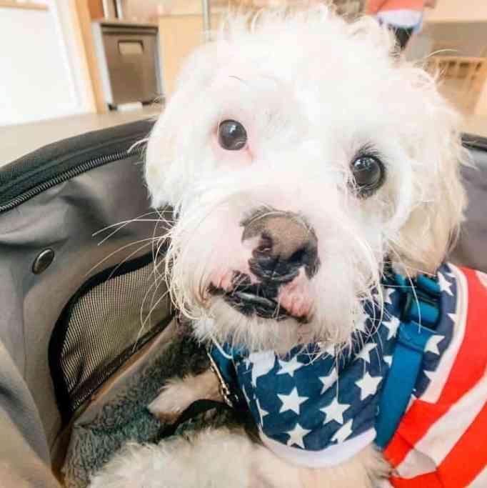 Teddy wearing a US Flag bandanna
