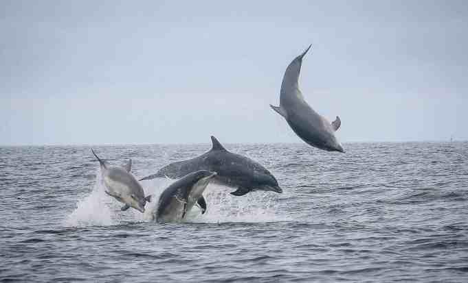 Moray Firth Bottlenose Dolphins