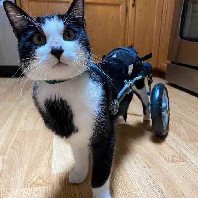 A cat wearing custom wheelchair