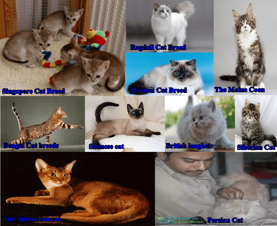 Top Breeds Families Of Cats That Are Available In Pakistan Price And Pictures