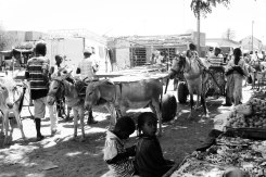By the market the donkey carriages are gathering and the women sell fruit and bissap.