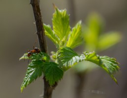 Myra på grönt blad