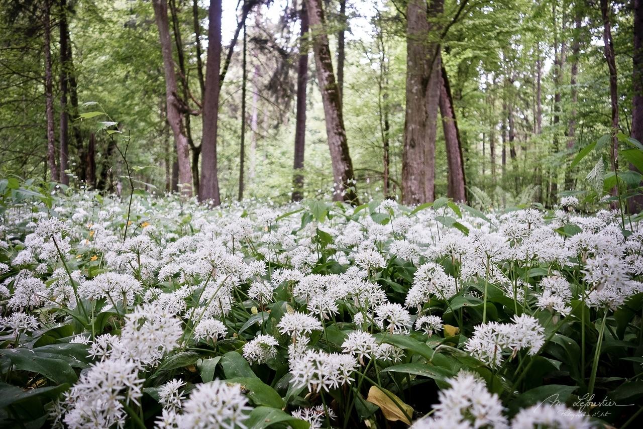 white garlic field in Białowieża forest Poland