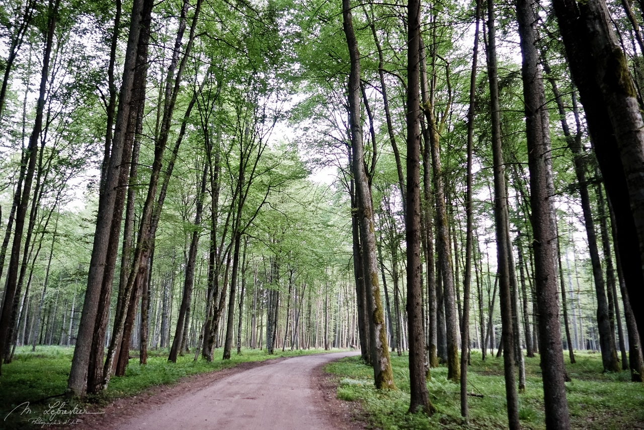 trees in the Bialowieza forest in Poland