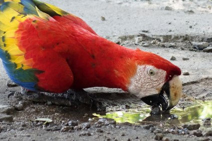 close up of a scarlet macaw in Costa Rica drinking by the side of the main road