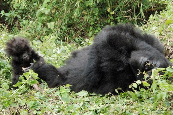 mountain gorilla mother with baby. Amahoro group, Rwanda
