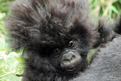 fluffly hair baby mountain gorilla girl Rwanda