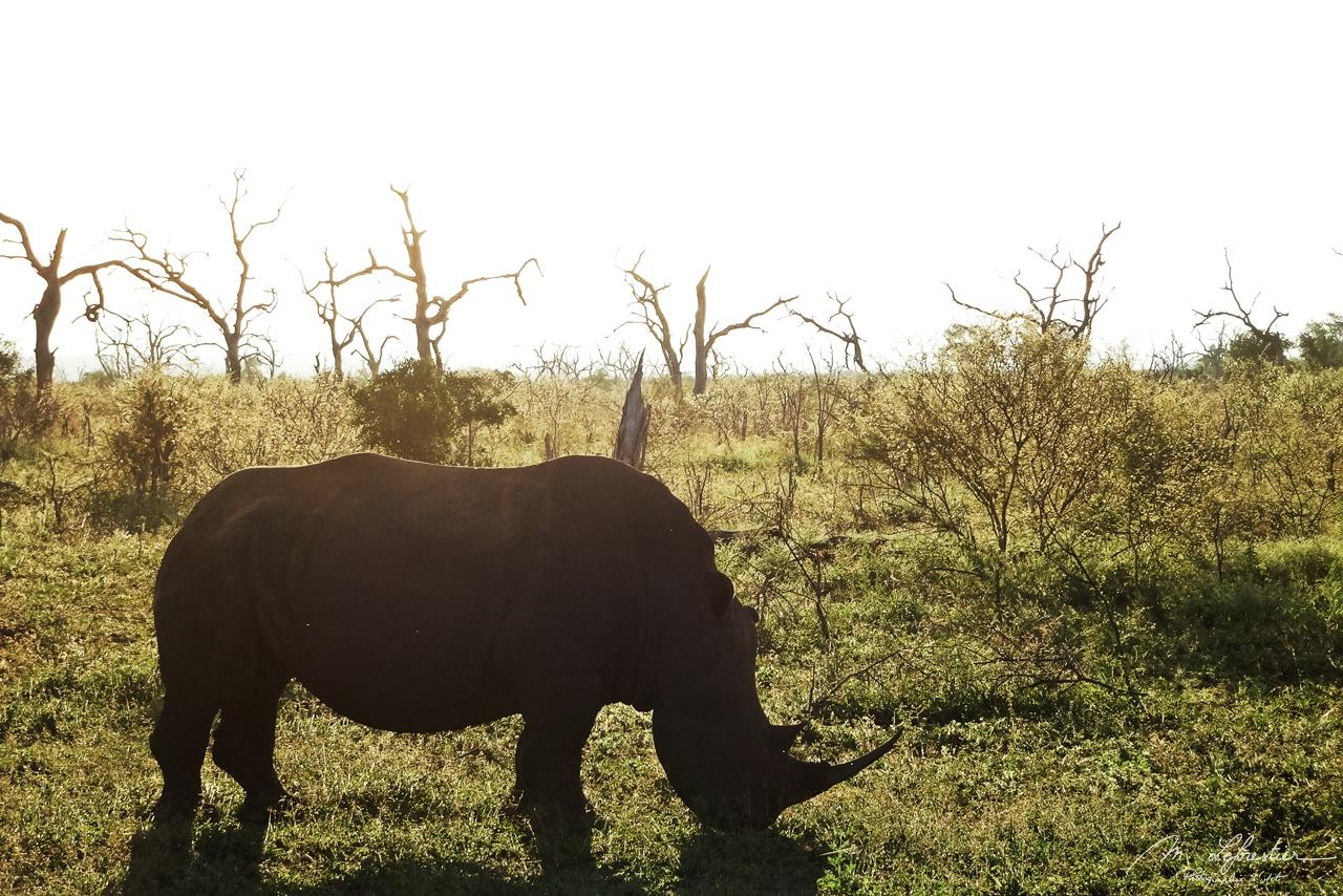 shite rhino at sunset Hlane National Park Simunye Swaziland Eswatini