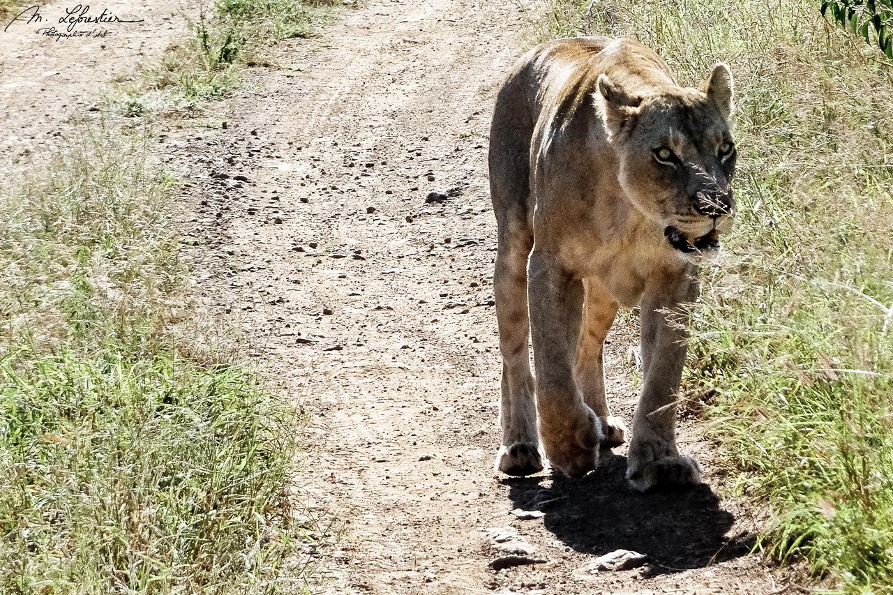 lion in Hlane National Park Simunye Eswatini Swaziland