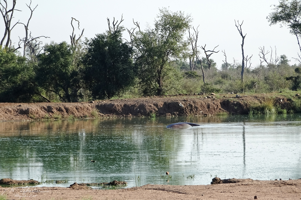 hippos in Hlane National Park Swaziland Eswatini