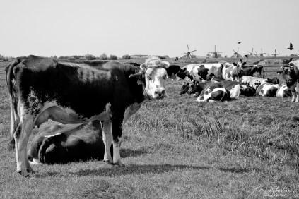 cows and mills at Kinderdijk, Netherlands