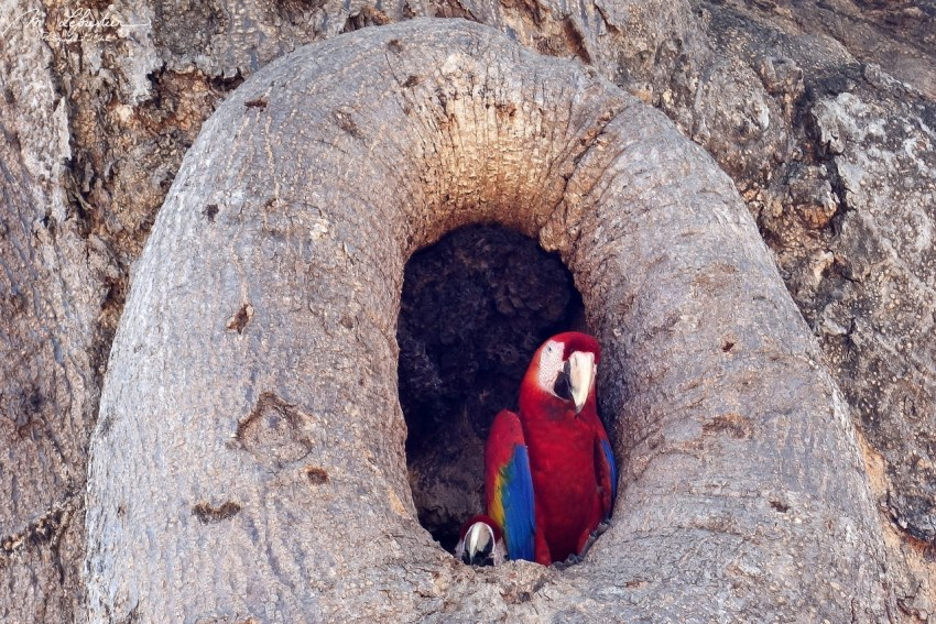 scarlet macaws in a tree in Costa Rica
