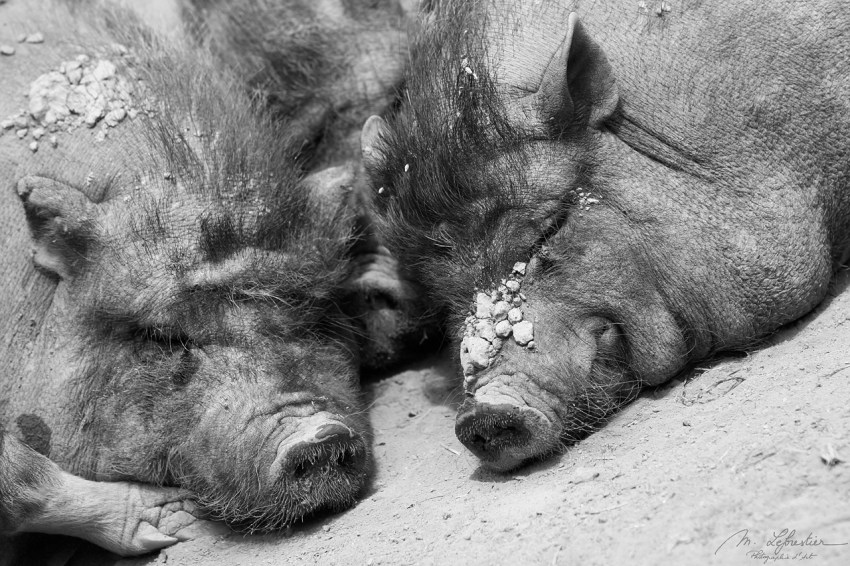 rare breed pigs at the guedelon castle looking quite tired