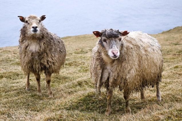 iceland sheep in Heimaey island