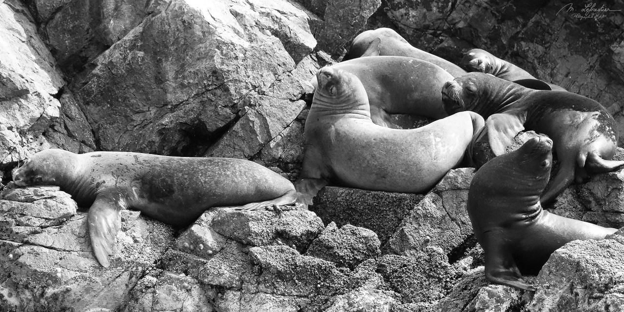 islas ballestas sea lions mini Galapagos Peru