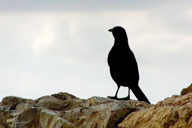 Tristram's starling or Tristram's grackle bird standing on old stones from the fortress city of Masada in Israel