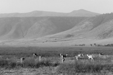 antelopes in the Ngorongoro conservation area