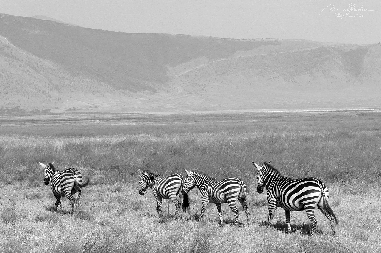 there are many zebras in the Ngorongoro conservation area