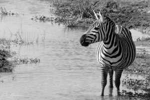 zebra by the water in the Ngorongoro black and white photograph