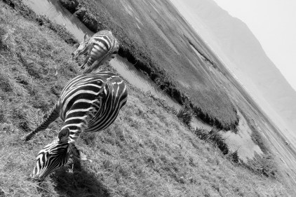 zebras eating in the Ngorongoro crater black and white photo