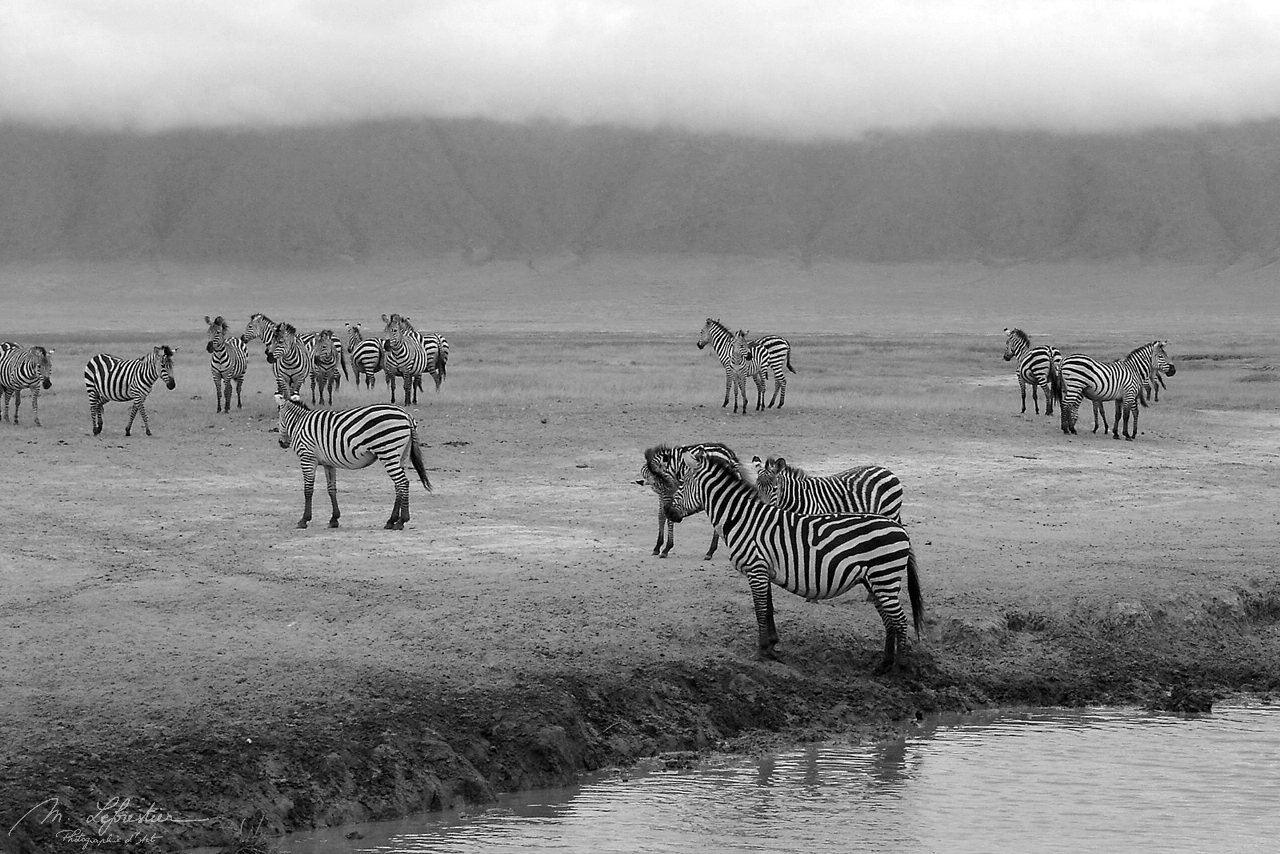 peaceful zebras in the Ngorongoro crater wildlife in black and white